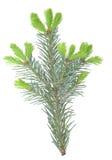 ветвь Мех-дерева Стоковая Фотография