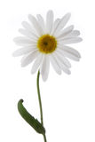 цветок стоцвета Стоковое фото RF