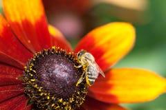 收集在一朵黄色黄金菊花的蜂蜜蜂花蜜,宏指令 库存照片