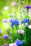 矢车菊。狂放的蓝色花 库存照片