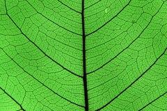 Нервюры и вены лист Стоковое Фото