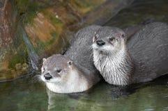 河中水獭 免版税库存图片