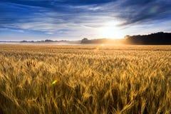 在金黄麦田的有薄雾的日出在中央堪萨斯 免版税库存图片