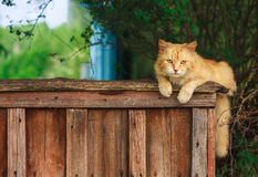 骑墙观望的红色猫 库存图片