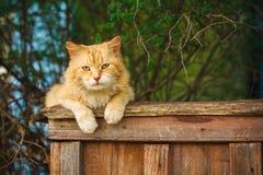 骑墙观望的红色猫 图库摄影