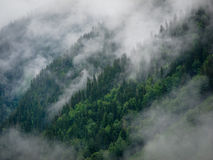 在雾的冷杉木 图库摄影