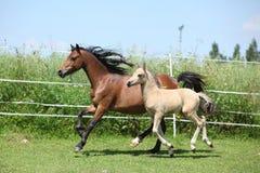 威尔士山与驹赛跑的小马母马 免版税库存图片