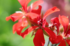 Красный конец цветка вверх Стоковые Фото