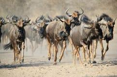 蓝色角马-从非洲的野生生物-蹄和尘土惊逃  免版税库存图片