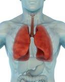 Человеческая дыхательная система Стоковое Изображение