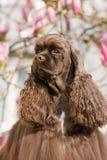 美国美卡犬画象  免版税库存照片