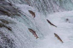 跳跃秋天的红鲑鱼 库存照片