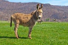 浅棕褐色驴 免版税图库摄影