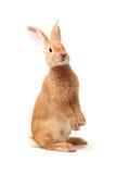 橙色兔子 免版税库存照片