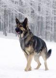 Собака немецкой овчарки Стоковые Изображения RF