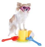 奇瓦瓦狗在假日 库存照片