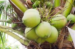垂悬在棕榈树的椰子 免版税图库摄影