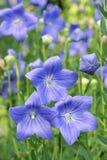 蓝色五边形花 库存图片