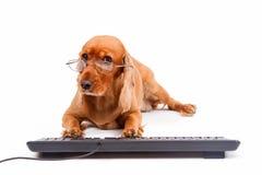 英国猎犬狗键入的键盘 库存照片