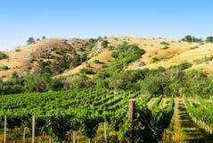 在小山下的葡萄园 免版税库存图片