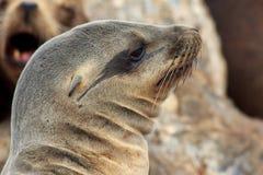 加利福尼亚海狮画象 库存照片