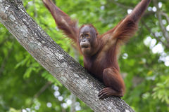 婆罗洲猩猩 免版税库存图片