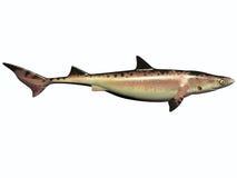白垩纪鲨鱼 库存照片
