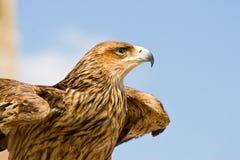 鹰 免版税库存图片