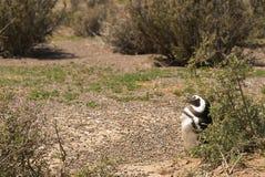 在巴塔哥尼亚的麦哲伦企鹅 免版税库存照片