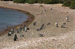 在巴塔哥尼亚的麦哲伦企鹅 免版税图库摄影