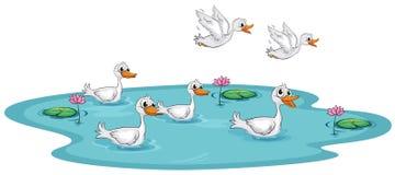 一个小组在池塘的鸭子 免版税库存照片