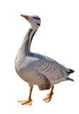 在白色隔绝的灰色野生鹅 免版税库存照片