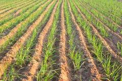 种植糖料作物藤茎 库存照片