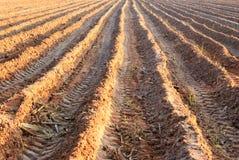 甘蔗植物 免版税库存图片