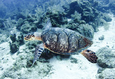游泳大堡礁,石标,澳大利亚的和平的绿海龟 免版税库存图片