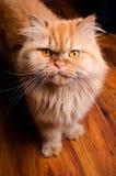 波斯猫 免版税库存照片