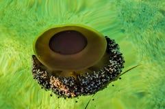 水母在绿色水域中 库存图片