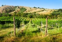 在小山下的葡萄园 图库摄影