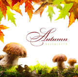 与黄色叶子的秋天背景和秋天采蘑菇 免版税图库摄影