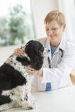 兽医审查的狗在医院 库存图片