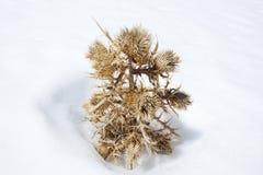 雪的干燥植物。 免版税库存图片