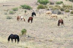 野马牧群,叫作野生或野生马 免版税图库摄影