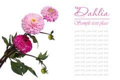 Букет розового георгина изолированный на белой предпосылке Стоковые Фотографии RF