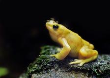 Κίτρινος βάτραχος δέντρων Στοκ φωτογραφία με δικαίωμα ελεύθερης χρήσης