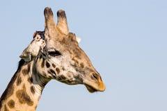 长颈鹿接近  免版税图库摄影