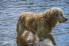 金毛猎犬在海沐浴 免版税库存照片