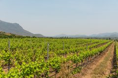 Πράσινος τομέας ναυπηγείων αμπέλων κρασιού σταφυλιών στο νότο της Ταϊλάνδης Στοκ εικόνα με δικαίωμα ελεύθερης χρήσης