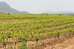 Πράσινος τομέας ναυπηγείων αμπέλων κρασιού σταφυλιών στο νότο της Ταϊλάνδης Στοκ Εικόνες