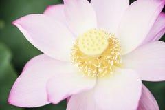 桃红色莲花特写镜头在一个湖的在中国 免版税图库摄影
