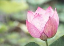 桃红色莲花特写镜头在湖,中国的 免版税库存图片